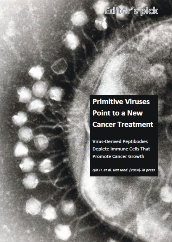 Primitive viruses (or phages) can point the way to a new cancer treatment. Recently, researchers at the University of Texas used phages to help design an antibody-peptide fusion protein (dubbed peptibodies) to deplete MDSCs - an immune population that is implicated in helping cancer evade the immune system. The depletion can impede cancer growth in mice.   The full story is reported in the June 2014 issue of The Medical Beat. www.themedicalbeat.weeby.com