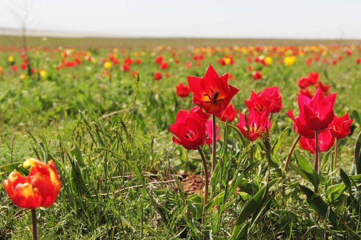 (c) дикорастущие тюльпаны близ Элисты в заповеднике и наблюдение за птицами :)