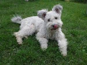 Pumi Dog - Bing Images
