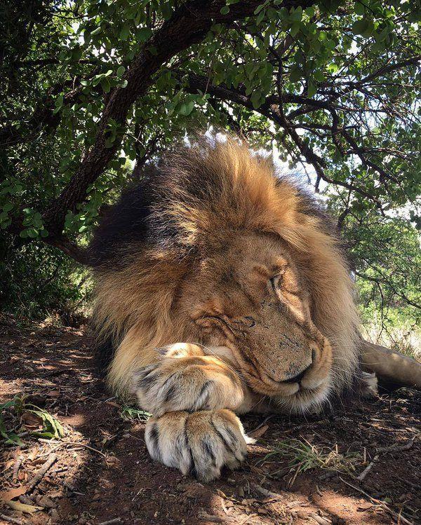 Don't wake the king | Photo by Kevin Richardson @lionwhisperersa