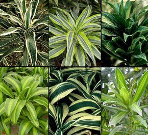 Dracaena - I think this is what my neighbour gave me today