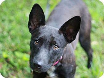 Staunton, VA - Corgi/Boston Terrier Mix. Meet Violet, a dog for adoption. http://www.adoptapet.com/pet/18196873-staunton-virginia-corgi-mix
