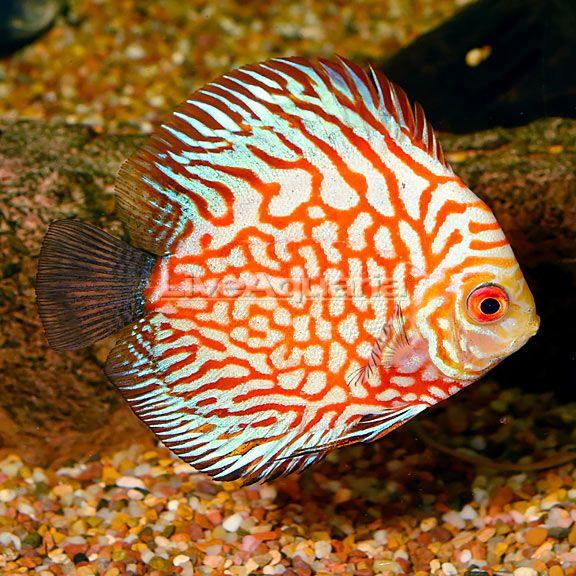 Liveaquaria Symphysodon Aequifasciata Fish Pet Pets Animals