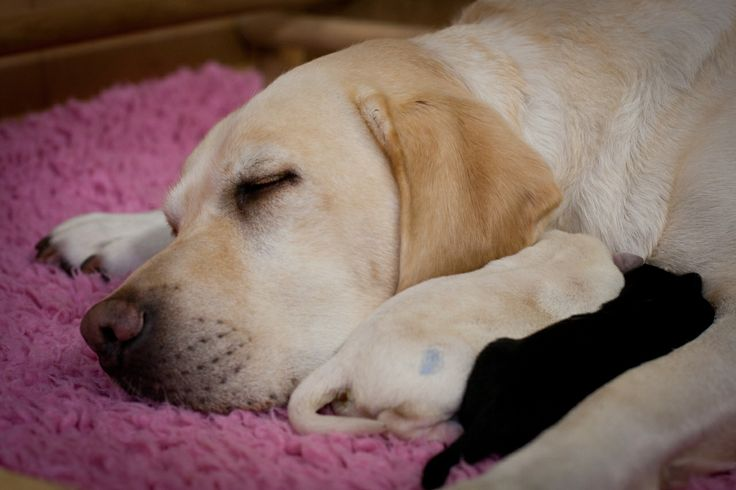 Guide dog mum Smartie - One of our brood's who had her litter at our National Breeding Centre in 2012 - http://www.guidedogs.org.uk/aboutus/national-breeding-centre/