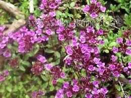 Majčina dušica (Thymus Serpyllum) | Kuhinjica