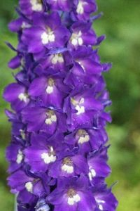 Do You Like Diffe Types Of Flowers Such As This Purple Delphinium Wondering Where It