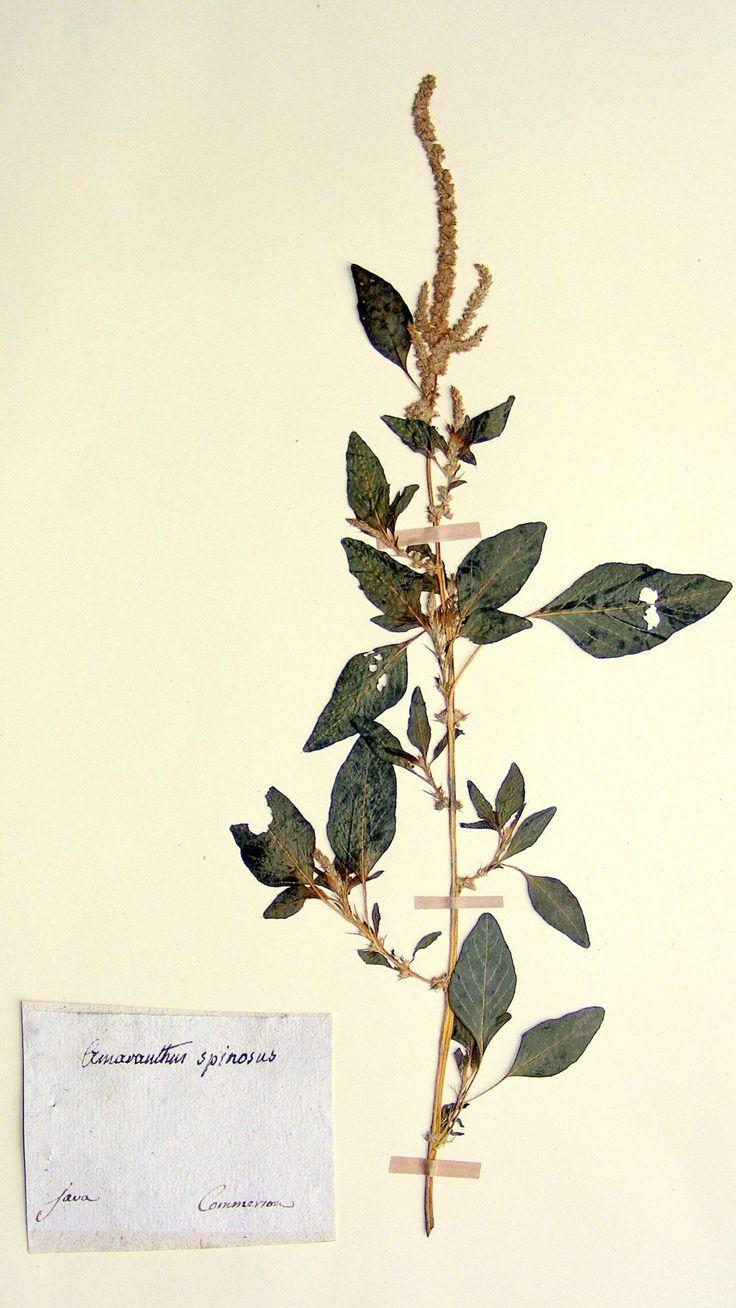 Amaranthe (Amaranthus spinosus L., 1753)ramassée par l'explorateur et naturaliste françaisPhilibert Commerson (1727-1773), à Java en...