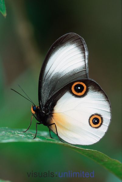 Papillon, tu nous fais les gros yeux ! / Amathusiid butterfly. / Taenaris catops, / Crater Mountain. / New Guinea.