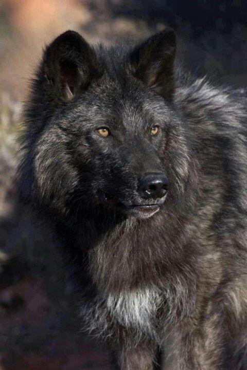 ☆ Rare Black Wolf :¦: Artist Unknown ☆