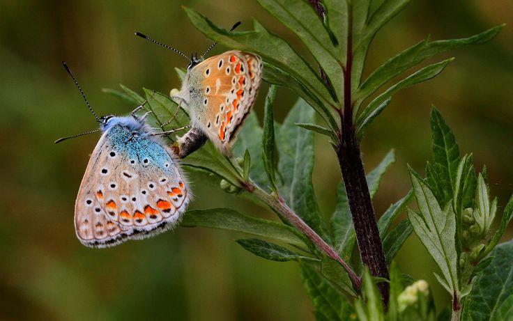 Parende Icarusblauwtjes in het Savelsbos; Zuid-Limburg