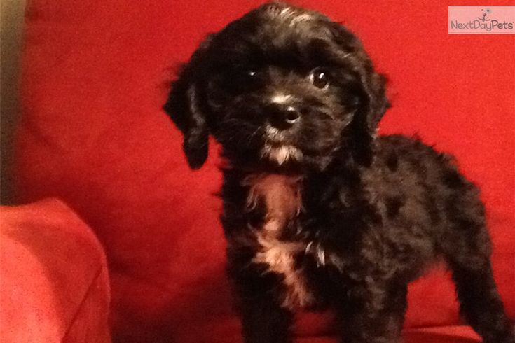 You'll love this Male Cavapoo puppy looking for a new home