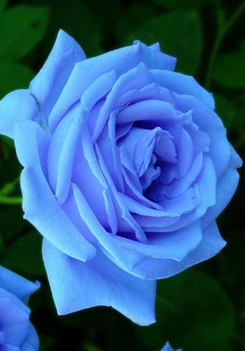 Blue rose for Independence Day!
