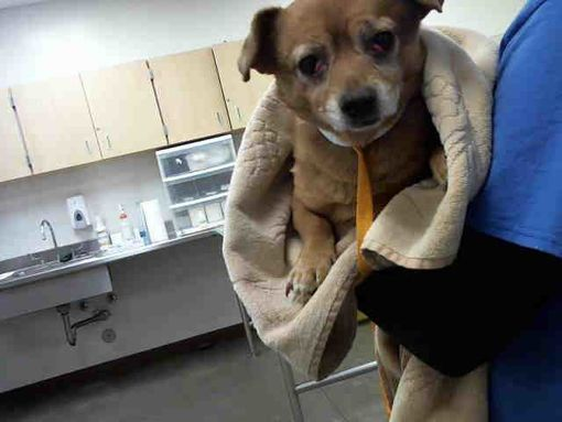 Pictures of a Chihuahua for adoption in Phoenix, AZ who needs a loving home.