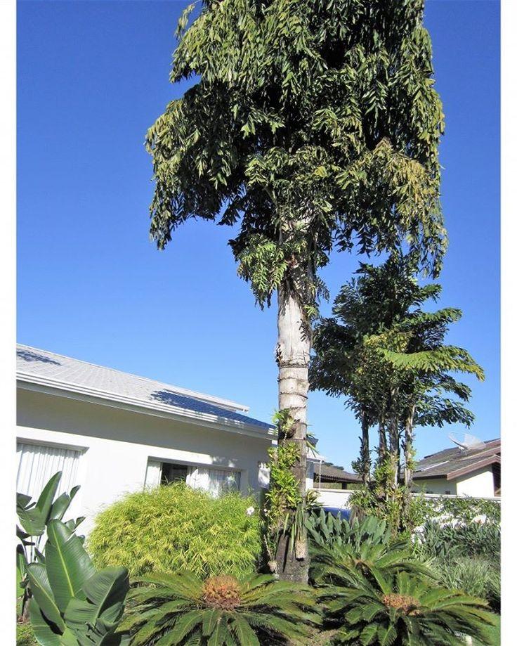 A cariota (Caryota urens) tem sua origem na Índia e no Sudeste Asiático. Atinge 20m de altura e seu tronco alcança 45 cm de diâmetro. Os exemplares da foto têm ninhos de mais de uma espécie de ave e aproveitei seus grandes troncos para plantar chifres de veado (Platycerium bifurcatum) e orquídeas  de diversas variedades. A árvore precisa de sol pleno!! Paisagismo: Adriano Gronard