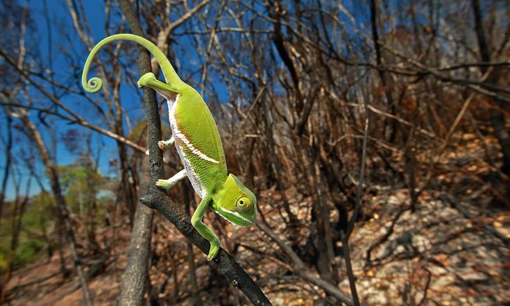 """Photo titled """"Chameleon Under Pressure"""" by photographer Christian Ziegler for National Geographic which won the third prize in the Nature stories category.─AP"""