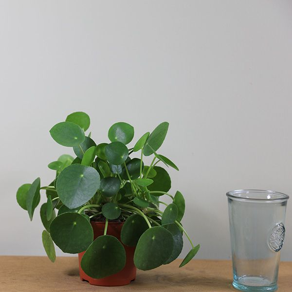 Pilea peperomioides – Chinese money plant / missionary plant – Plants I want in my casa