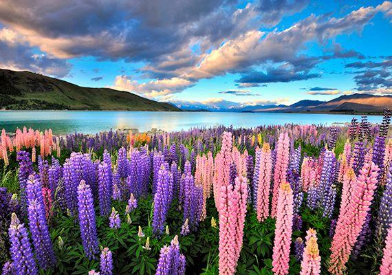 Új-Zéland számtalan páratlan úti célja közül is kiemelkedik a Tekapo-tó, melynek látványát a partját beborító csillagfürt virágok teszik még felejthetetlenebbé. | femina.hu