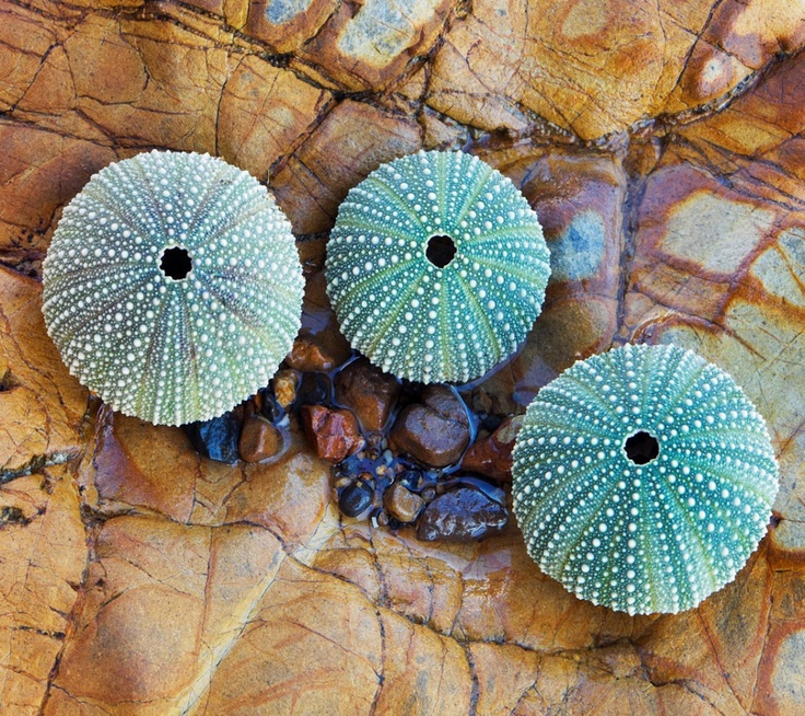 Turquoise Sea Urchins                                          WHERE CAN I FIND THEM??