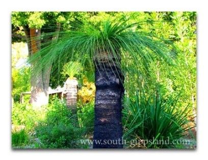 Xanthorea or grass trees can be seen in gardens and natural environments in South Gippsland