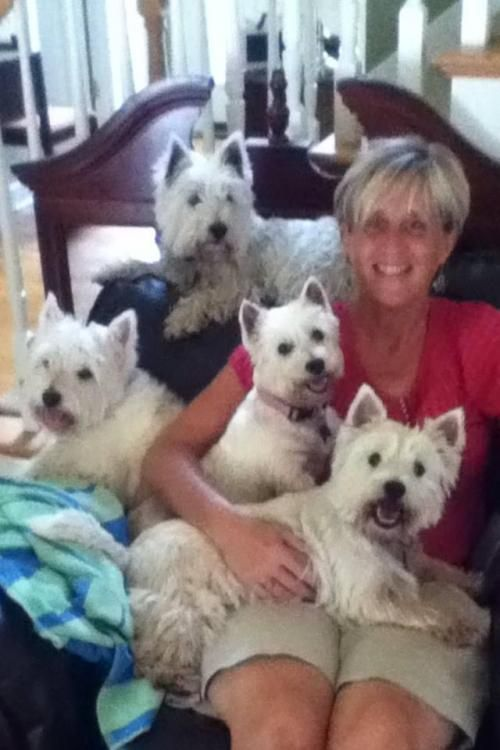 409 Best Images About Westie Mania On Pinterest White