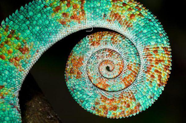 Camaleão: um símbolo de mudança | O Camaleão é um dos principais répteis da família dos lagartos, dentre suas características virtuosas, a visão é uma delas