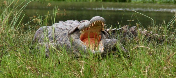 Vodní safari v Africe - krokodýl