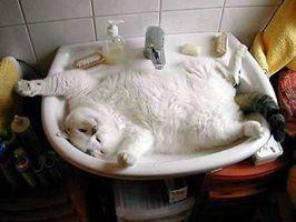 fat cat fills the sink