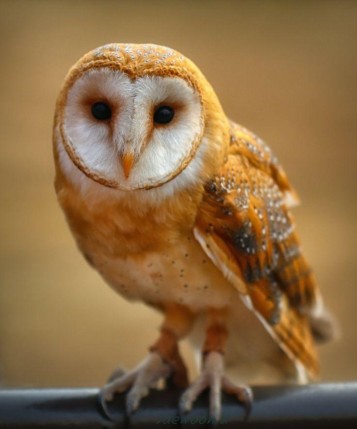 Barn owl by jaewoon u