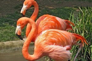 Flamingo Facts: Food Turns Feathers Pink