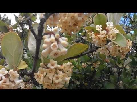 Viburno: Viburnum suspensum (www.riomoros.com)