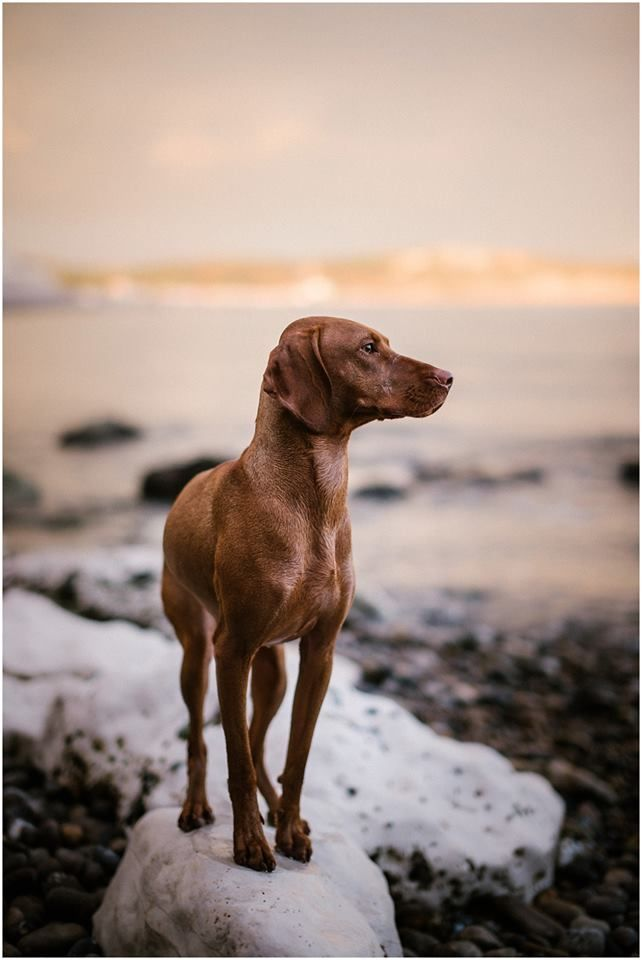 Vizsla. By Ruby Loves Photography.