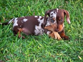 Wow look a this baby Dachshund