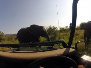 Elephants have the right of way in the Pilanesberg. there are nearly 300 elephants in the park.