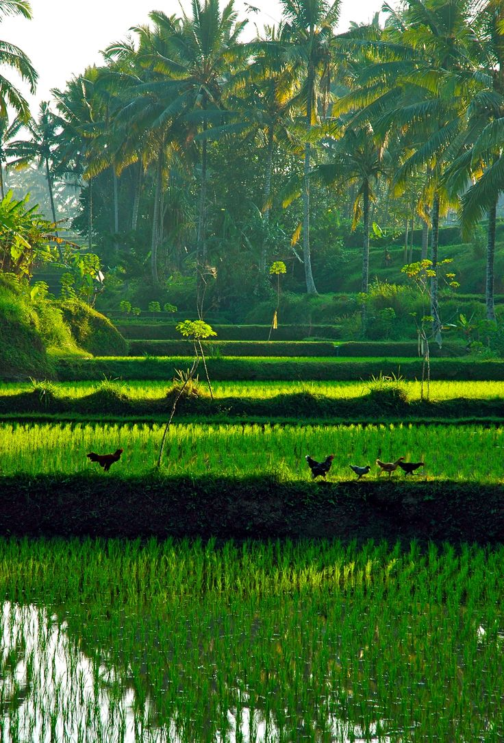 Rice paddies, Indonesia - they are every bit as beautiful for real as they are in the pictures!