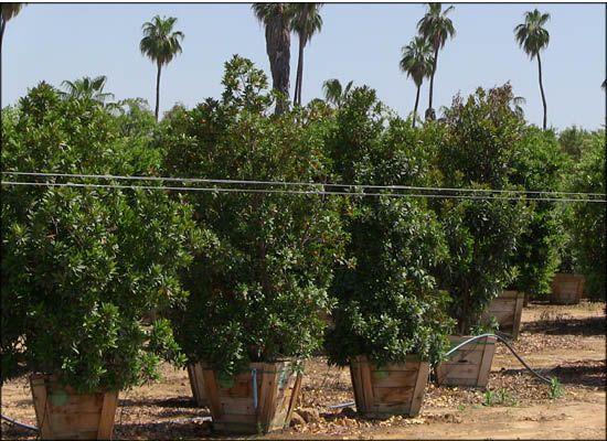 japanese blueberry tree price cost trees sale always green big nurseries care