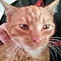 Cherry Hill, New Jersey - Domestic Shorthair. Meet Pumpkin2, a for adoption. https://www.adoptapet.com/pet/20237147-cherry-hill-new-jersey-cat