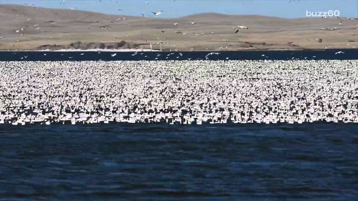 The best Snow goose migration ideas on Pinterest