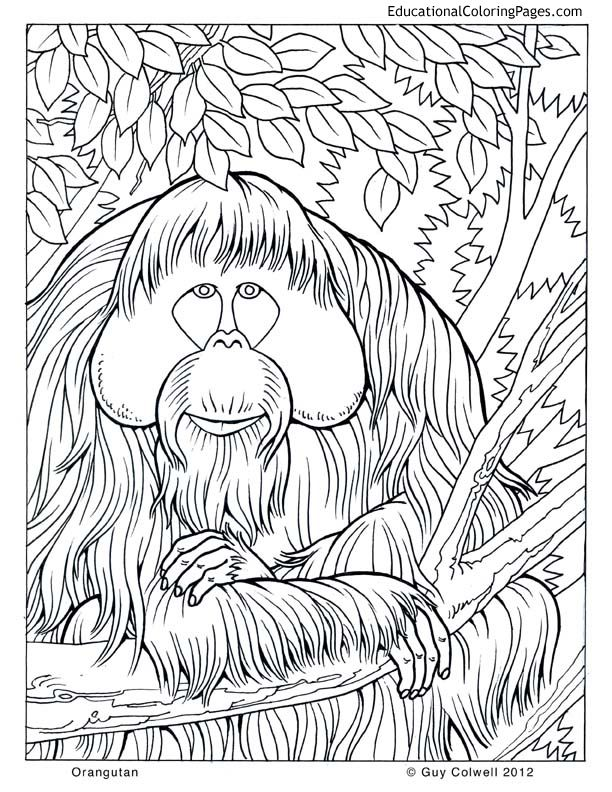 find this pin and more on indonesian animals lots of coloring pages orangutan