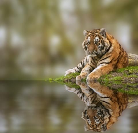 Top 10 Most Endangered Animals List 2016 - Endangered Apparel