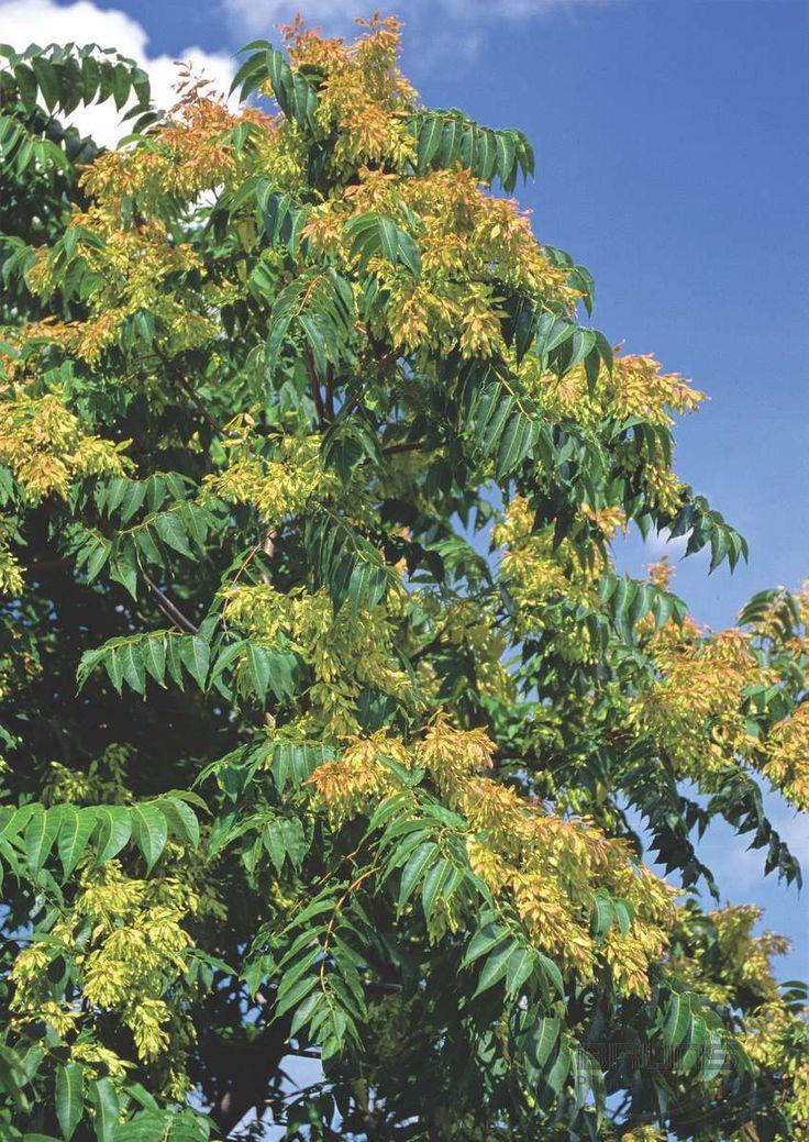 AILANTHUS altissima (MILL.) SWINGLE, Айлант высочайший (Дерево Богов) | Pflanzen | null | Bruns Site