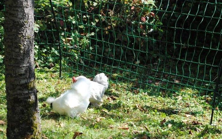Un enclos à poules est le meilleur moyen pour protéger vos légumes fragiles de vos poules. Mais avant de ce lancer, veillez à respecter ces 5 règles.