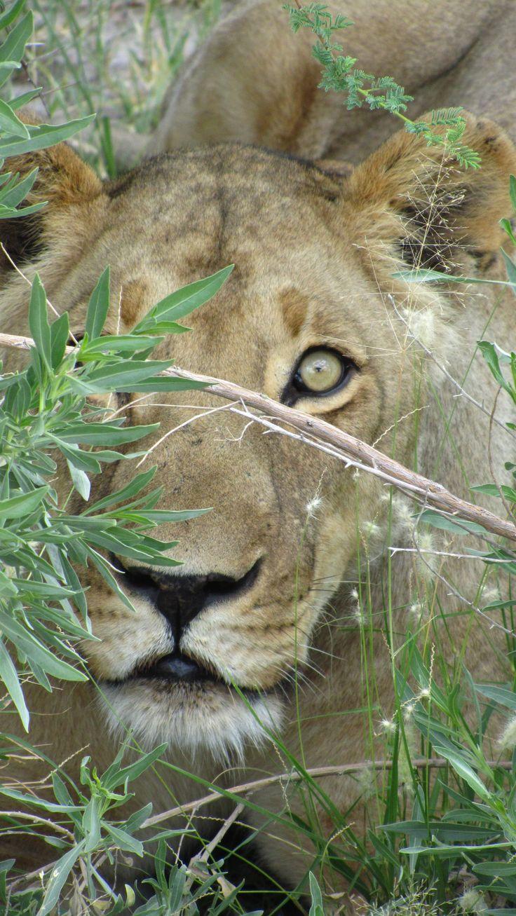 Amazing pic of a lion in the Central Kalahari Game Reserve, Botswana #lion #Kalahari #Safari