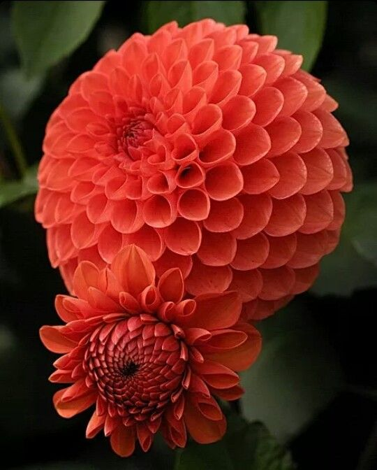 Dahlia - I love these, especially in this color