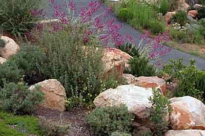 california native landscape designs | This is a coastal sage scrub and chaparral restoration over a leach ...