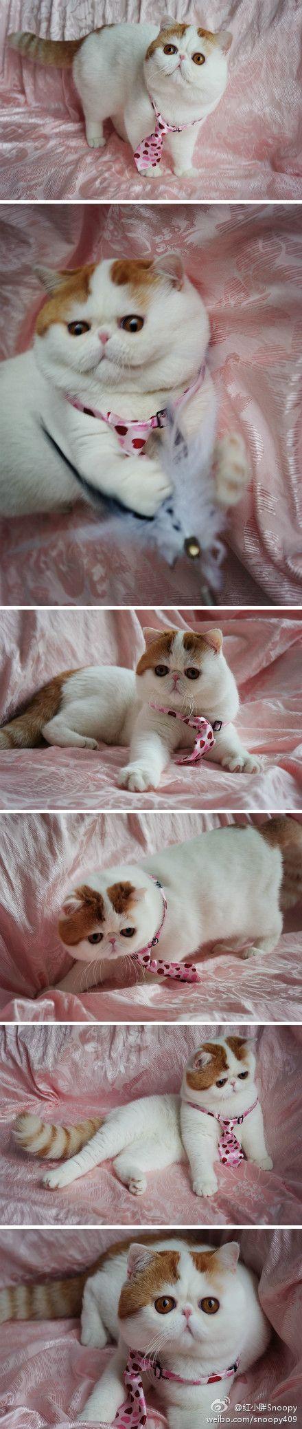 Internet cat Snoopy wearing a tie: Internet Cat, Favo Cat, Cat Pics, Adorable Cat, Exotic Cat, Rain Cat, Cat Snoopy, Eye