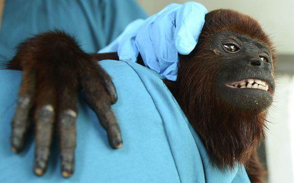 Una cría de mono aullador rojo es atendida por un voluntario en el zoo de Santa Fe, Medellín, Colombia (Raúl Arboleda, 2015)
