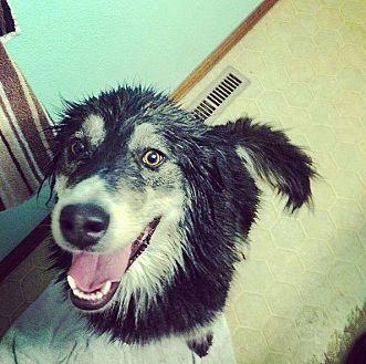 Boulder, CO - Australian Shepherd/Husky Mix. Meet Sasha, a dog for adoption. http://www.adoptapet.com/pet/19229735-boulder-colorado-australian-shepherd-mix