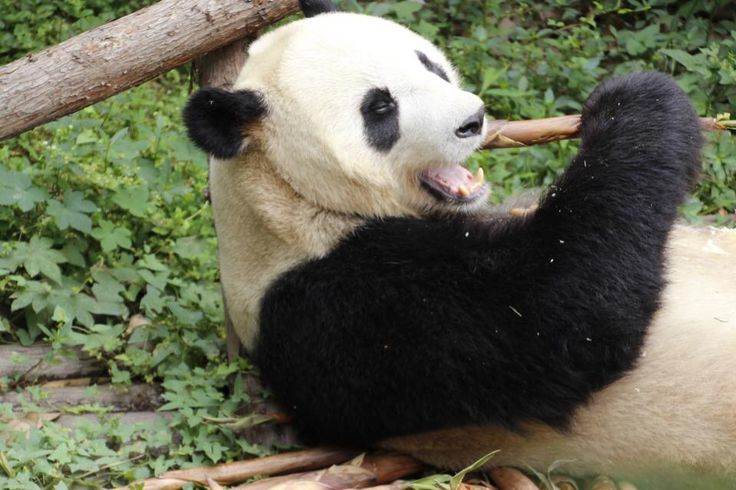 Can't go to China without seeing Giant Panda - take your time if you visit this wonderful place