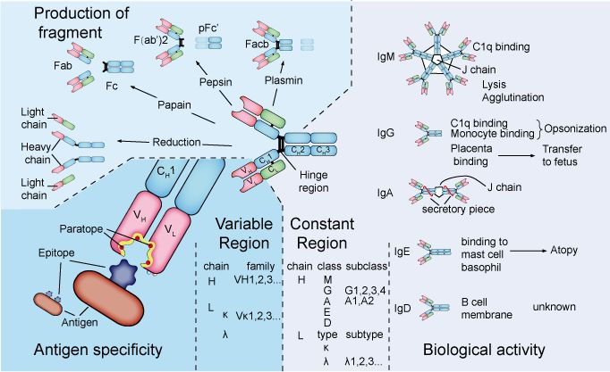 Antibody structure and function.
