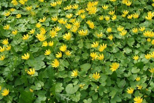 Ranunculus ficaria mukulaleinikki
